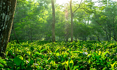 Tea Garden near Chittagong (Bangladesh) (//Kevin) Tags: sunset sun rural garden sundown tea bangladesh chittagong bangladesch