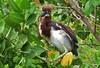 Tri-colored Heron Youngster (Egretta tricolor)