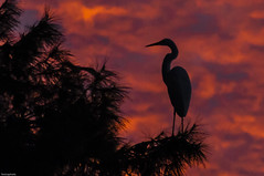 Egret at sunset (fenicephoto) Tags: