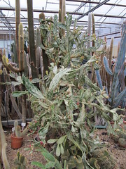 IMG_8217 (wallygrom) Tags: cactus england cacti westsussex succulents angmering cactuscollection manornursery manornurseries