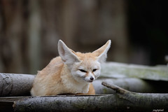 Fennec Fox (ray2pixel) Tags: nikon korea safari fox themepark fennec everland 2014 fennecfox d610