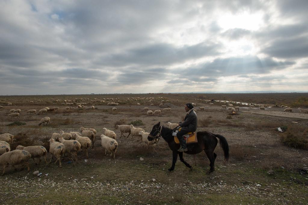 Azeri shepherd