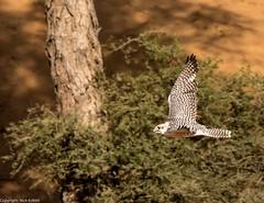8Q2A1197_DxO (maskirovka77) Tags: dubai desert hunting beak raptor owl falcon hood sharjah unitedarabemirates falcons raptors avian barnowl hunt birdsofprey lure birdofprey falconry talons natureconservancy stooping falconeer peregrinefalcon gyrfalcon pergrine falconexperience alshuwaib arabiandeserteagleowl royalshaheen clawsarabiandeserteagleowldubainatureconservancypergrineraptorsroyalshaheenbirdofpreybirdsofpreyfalconfalconexperiencefalconsowlraptoralshuwaibsharjahunitedarabemirates
