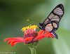Methona confusa, Madre de Dios, Peru (hogsas) Tags: peru butterfly butterflies amazonia madrededios amazonialodge peruvianimages ecoamazonialodge methonaconfusa