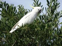 Cockatoo (pat.bluey) Tags: birds ngc australia newsouthwales cockatoo 1001nights southcoast gumtree warilla 1001nightsmagiccity