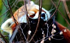 Red Panda (2KMILER) Tags: atlanta red ga zoo panda