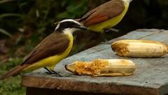 2 Pecho amarillo (Pitangus sulphuratus) (Jorge Solís Campos) Tags: naturaleza bird nature animal fauna costarica wildlife ave wildanimal pájaro pitangussulphuratus animalsalvaje pérezzeledón pechoamarillo