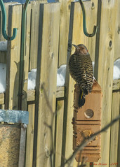 Northern Flicker -22 (Ian L Winter) Tags: canada nature birds newfoundland stjohns countries northernflicker