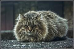 Keep away... (Stefy_P) Tags: cats pets animals fur eyes flickr occhi sguardo sight gatti animali animalidacompagnia peliccia hdrtm