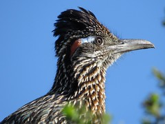 greater roadrunner macro-crystal cove state park (gskipperii) Tags: blue orange macro bird beautiful colorful pretty wildlife crystalcove newport predator regal cuckoo roadrunner macroportrai