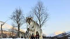 Run Forest (maselko69) Tags: macro animals giant wolf