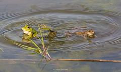 2016-05-06 - 16.09.33 - _L5B3359 - 1 (Rossell' Art) Tags: pad frog toad sapo rana frosch grenouille kikker rano bufo r krte crapaud  rospo doodebemde batracien
