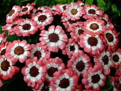 Cineraria (yewchan) Tags: flowers flower nature colors beautiful beauty closeup garden flora colours gardening vibrant blossoms blooms lovely cineraria cinerarias