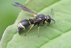 Allodynerus delphinalis m - 15 V 2016 (el.gritche) Tags: hymenoptera france 40 garden vespidae eumeninae allodynerus delphinalis allodynerusdelphinalis male stylops stylopized wasp guepe