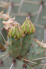 Cactii blooms-2151 (rob-the-org) Tags: macro iso100 noflash 100mm blooms uncropped desertbotanicalgarden cactii f63 phoenixaz 180sec