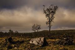 The road into Cradle Mountain. (Matthew Post) Tags: canon post matthew forestry logging tasmania deadwood 6d cradlemountain tamron2875mm fallentrees cradlemountainnationalpark matthewpost