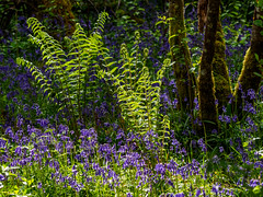 Bluebells and Ferns (Highlandscape) Tags: wood flowers trees light plants fern colour nature weather rural woodland bay scotland countryside spring flora natural outdoor olympus highland loch bluebell lochness ness urquhart markii ecosse drumnadrochit hyacinthoides hyacinthoidesnonscripta em5 nonscripta urquhartbaywood httphighlandscapezenfoliocom olympusem5markii