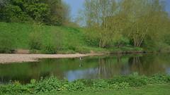 Heron, River Tees, Croft-on-Tees, Yorkshire (barry.marsh1944) Tags: heron river yorkshire tees croftontees