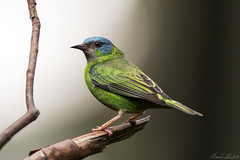 BlueDacnisFemale_DSC_9294 (Frank Shufelt) Tags: brazil southamerica birds brasil female rj wildlife aves itatiaia songbirds passeriformes bluedacnis dacniscayana 9294 thraupidae tanagers turquoisehoneycreeper may2016