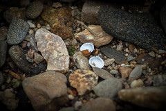 freshwater bivalve (Black Hound) Tags: sony a500 minolta chestercreek martinpark bivalve freshwaterbivalve
