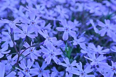 purple creeping phlox (gwuphd) Tags: macro nature nikon purple bokeh f35 creepingphlox 1030mm
