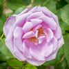 B36C6350 (WolfeMcKeel) Tags: park new city vacation flower macro nature rose gardens garden mexico botanical spring high flora downtown desert landscaping albuquerque flowering 2016