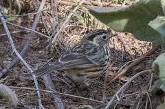 Speckled Warbler  Pyrrholaemus sagittatus-5003 (rawshorty) Tags: birds australia canberra act rawshorty
