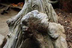 Sequoia National Park, CA (lotos_leo) Tags: sequoia nationalpark ca california nature travel outdoor поамерике crossamerica2015 секвоянэшнлпарк калифорния tree