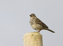 .... Aaah that's better! (themadbirdlady) Tags: bird post behaviour meadowpipit pellet passeriformes anthuspratensis motacillidae sheriffmuirnorthnn8303