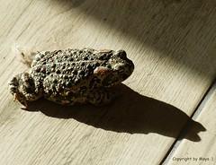 Krte * Toad * Sapo *  . P1290931-001 (maya.walti HK) Tags: espaa animals tiere spain flickr toad animales sapo spanien 2016 krte provinciademurcia panasoniclumixfz200 copyrightbymayawaltihk provinzmurcia murciaprovinz 270616