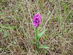 Marsh orchid (nz_willowherb) Tags: beach forest scotland fife tentsmuir marshorchid
