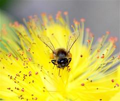 Toujours au travail ! (valerierodriguez1) Tags: abeille bee canon eos 7d nature pollen fleur flower extrieur outside jaune yellow