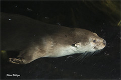 Full speed (Fisherman01) Tags: zoozürich europäischerfischotter eurpeanotter