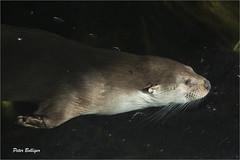 Full speed (Fisherman01) Tags: zoozrich europischerfischotter eurpeanotter