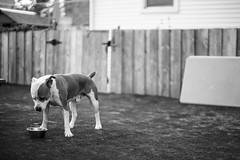 thirsty miguel (chris.duesing) Tags: dog sony speedmaster thirsty pittbull 095 a7s