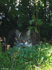 Bastian in the shadow (Finn Frode (DK)) Tags: cats garden shade bushes summer bastian mixedbreed domesticshorthair olympus omdem5 denmark animal pet cat outdoor