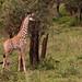 Giraffe with Leucism 10-2