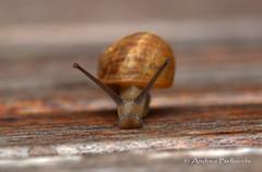 Chiocciola 2 (abellokki) Tags: snail animal lumaca chiocciola
