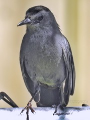 Gray Catbird (AngelVibePhotography) Tags: macro bird nature birds animal closeup nikon outdoor gray northcarolina catbird nikonp900