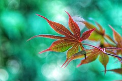 Maple leaf (JPShen) Tags: leaves leaf maple