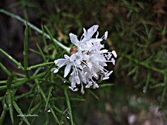 Despus de la lluvia 019 (adioslunitaadios) Tags: sierradechiva florsilvestre campo macro plantasyflores florblanca gotasdelluvia fujifilm