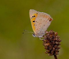 Small Copper Lycaena phlaeas (Ivan Lynas Nature Photography) Tags: