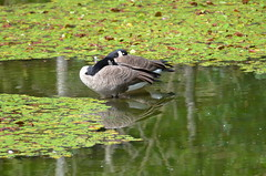 Afternoon Nap (Neal D) Tags: bc abbotsford fishtrapcreekpark canadagoose brantacanadensis goose pond lilypads