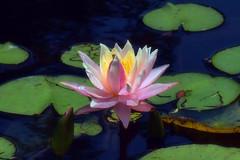 Inner Light (Walkuere123) Tags: waterlily seerose nenfar pond teich estanque flower flor blume aquaticplant wasserpflanze plantaacuatica outdoor summer sommer verano nymphaeales nymphaeaceae sonyslta58
