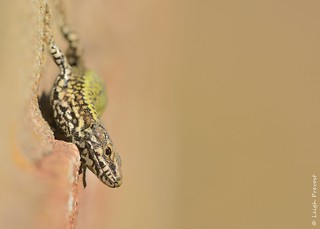 European Wall Lizard, Podarcis muralis