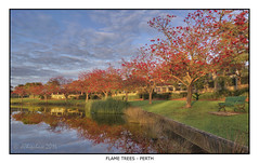 Flame Trees (JChipchase) Tags: nikon d750 perth flametrees australia reflections lake park