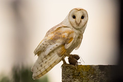 My Lunch (jammo s) Tags: barnowl owl tytoalba wildbarnowl birdofprey catchoftheday vole bird wildowl nature daylight wildlife canoneos80d canonef400mmf56lusm
