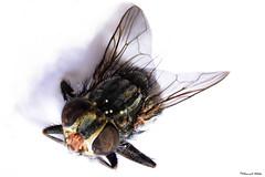 La mosca (Retratista de paisajes y paisanajes) Tags: macro colores lente mosca insecto insecta invertida mutuca d5200 insepto beautifulmonsters