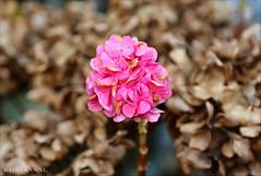 Hopetensia (Emil de Jong - Kijklens) Tags: pink flower fleur hydrangea roze bloem hortensia macrophylla