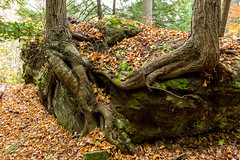 Two Trees Growing On A Moss Covered Rock (kschmitz2) Tags: tree fall rock moss unitedstates kentucky roots olivehill cartercaves canon60d 1635mmf28llens